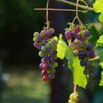 I vini del distretto di Stellenbosch in Sudafrica